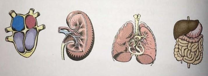 organların aktif vakti ve önemi