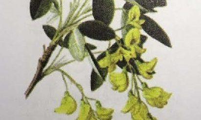 Abanoz Ağacının faydaları