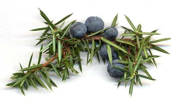 Ardıç - Juniperus communis