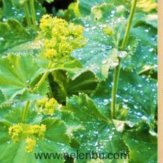 Alchemilla vulgaris - aslan pençesi