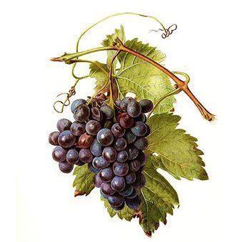 Üzüm asma - Vitis vinifera